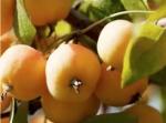 pomme,catherine peix,tian shan,jardin d'eden,kazakhstan,environnement